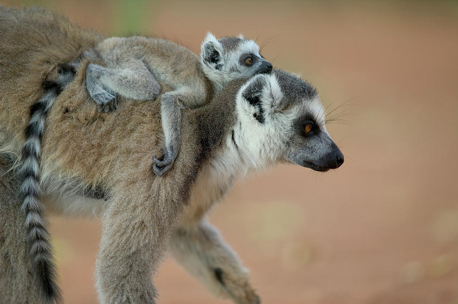 Ring-tailed Lemur Lemur Catta Baby Photograph