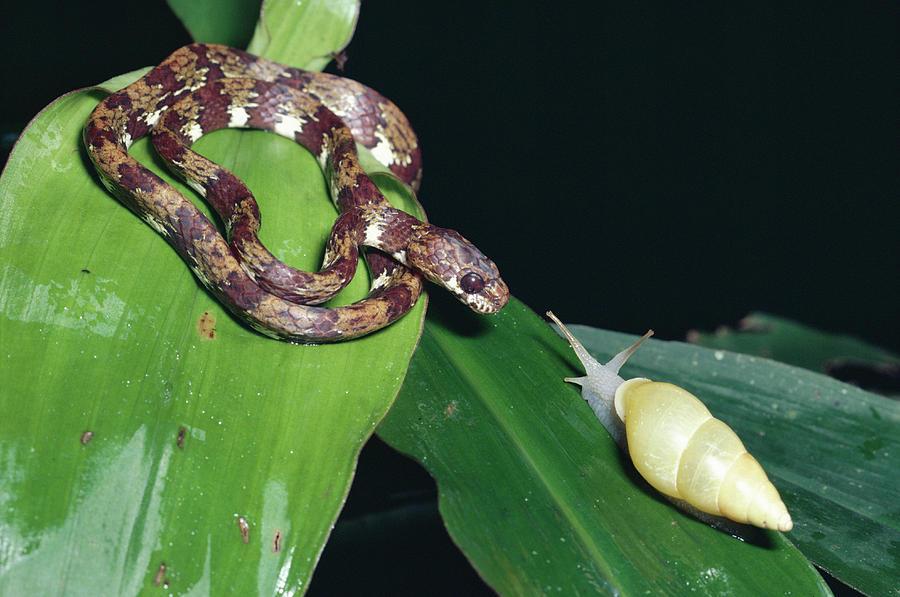 Ringed Snail-eater Snake Sibon Annulata Photograph