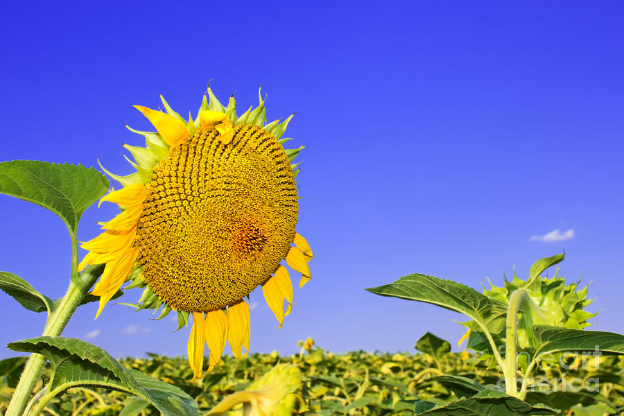Ripening Sunflower Head Photograph