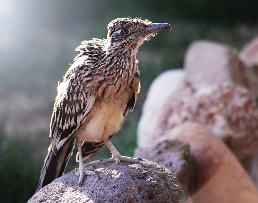 Road Runner Photograph  - Road Runner Fine Art Print