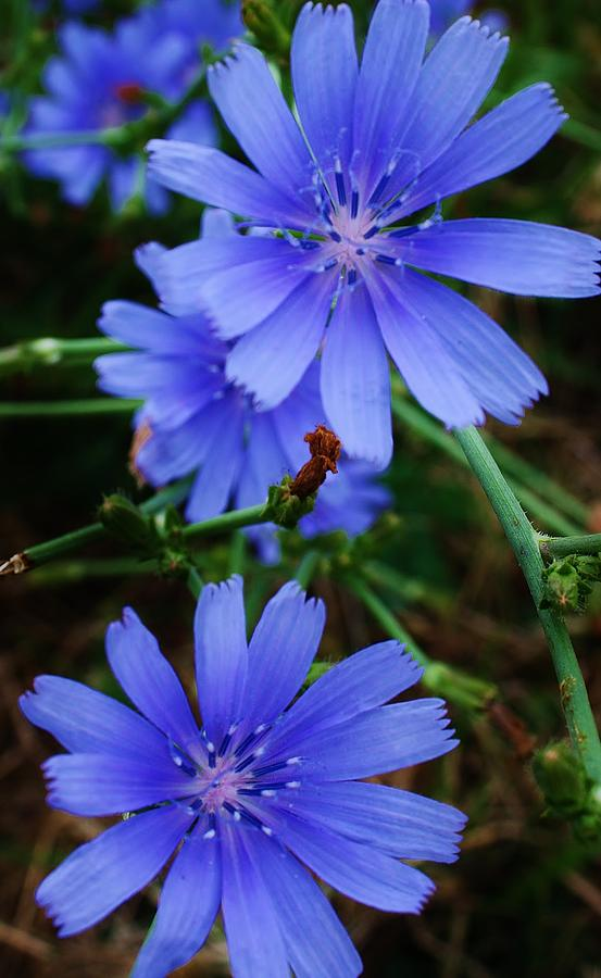 Roadside Blue Asters Photograph  - Roadside Blue Asters Fine Art Print