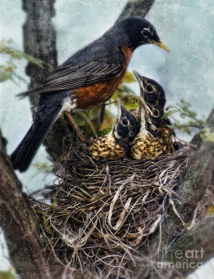 Robin And Babies In Nest Photograph  - Robin And Babies In Nest Fine Art Print