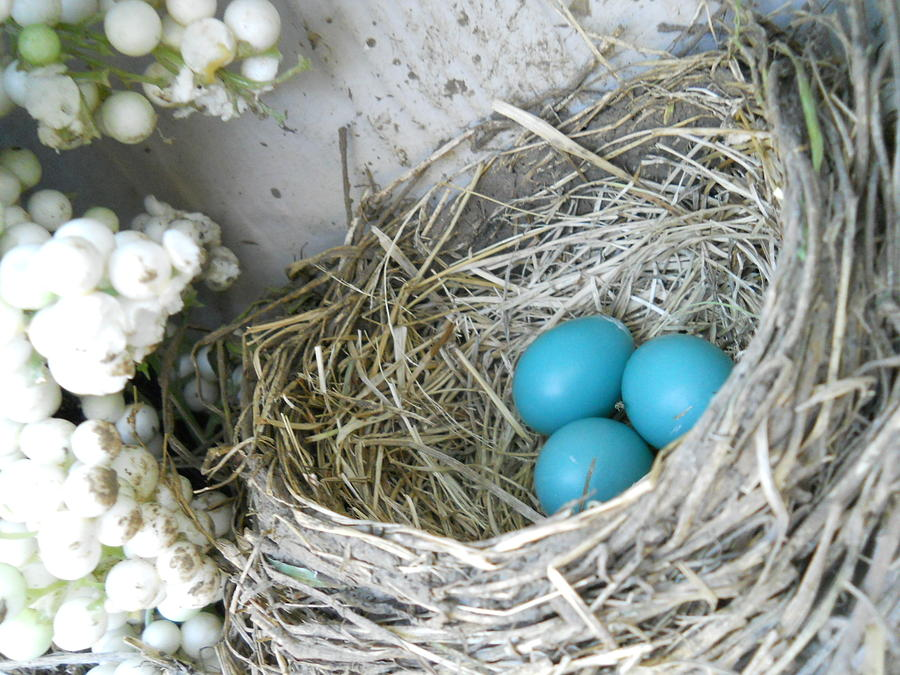 Robin Eggs In A Wreath Photograph  - Robin Eggs In A Wreath Fine Art Print