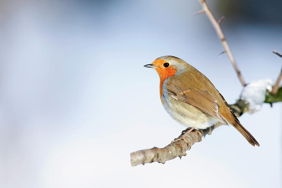Horizontal Photograph - Robin (erithacus Rubecula) by Andrew Howe