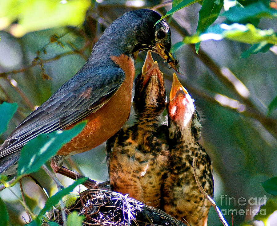 Robin Photograph - Robin Feeding Young 2 by Terry Elniski
