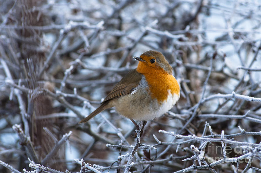 Robin On A Frosty Morning Photograph  - Robin On A Frosty Morning Fine Art Print