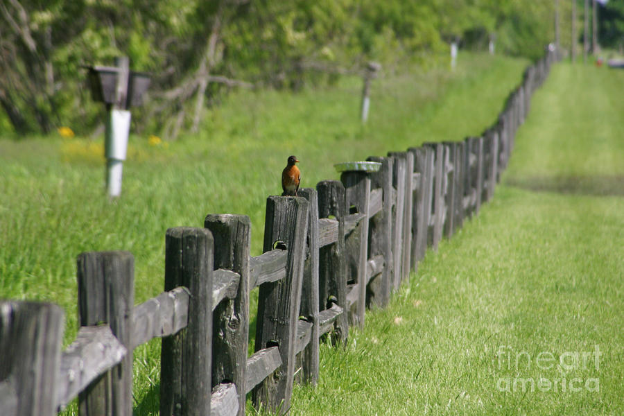 Robin On The Fence Photograph  - Robin On The Fence Fine Art Print
