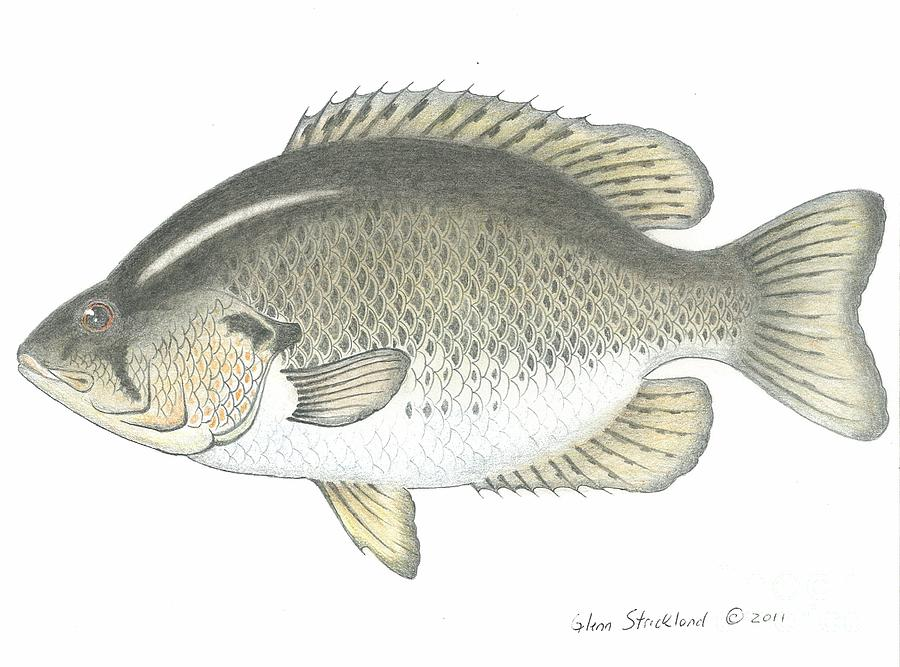 Rock bass fish drawing by glenn strickland for Bass fish pictures