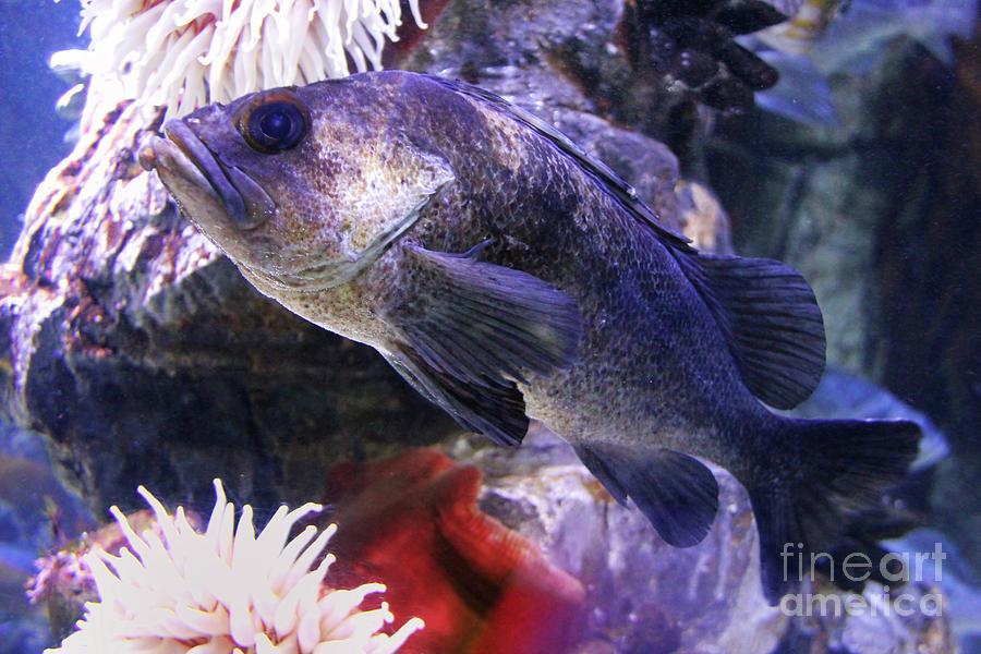 Rockfish Photograph