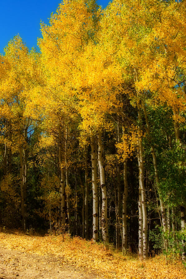 Rocky Mountain Aspen Color Photograph  - Rocky Mountain Aspen Color Fine Art Print
