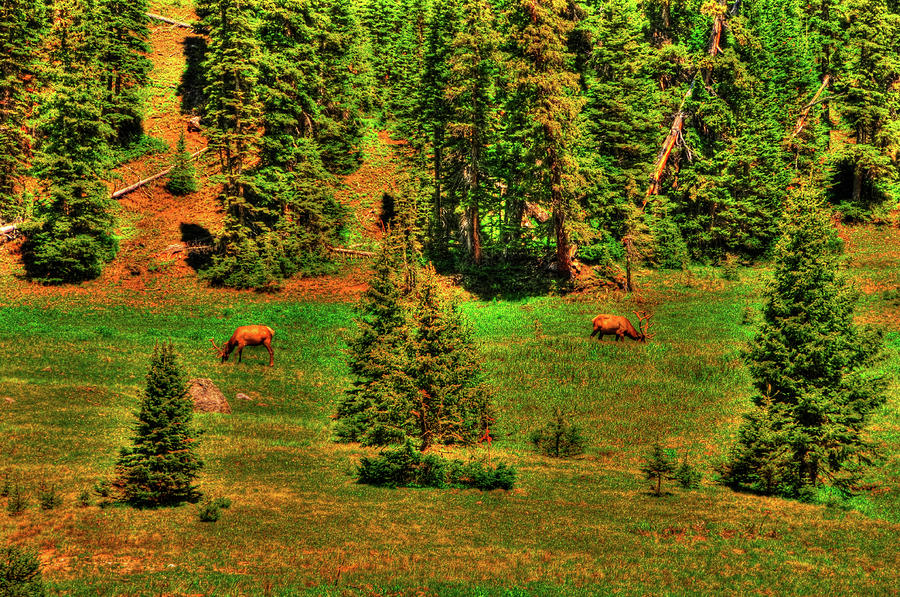 Rocky Mountain Grazing Photograph  - Rocky Mountain Grazing Fine Art Print
