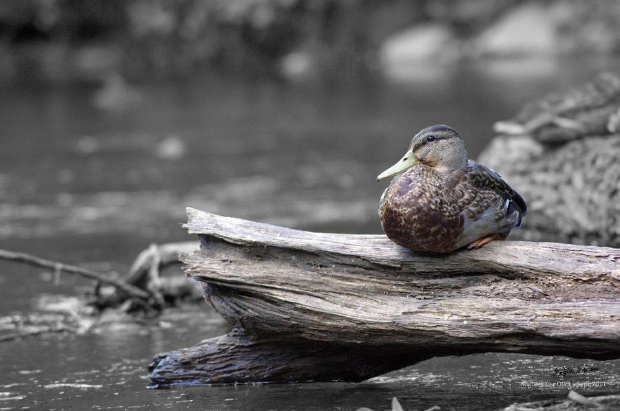 russian wildlife art prints duck print