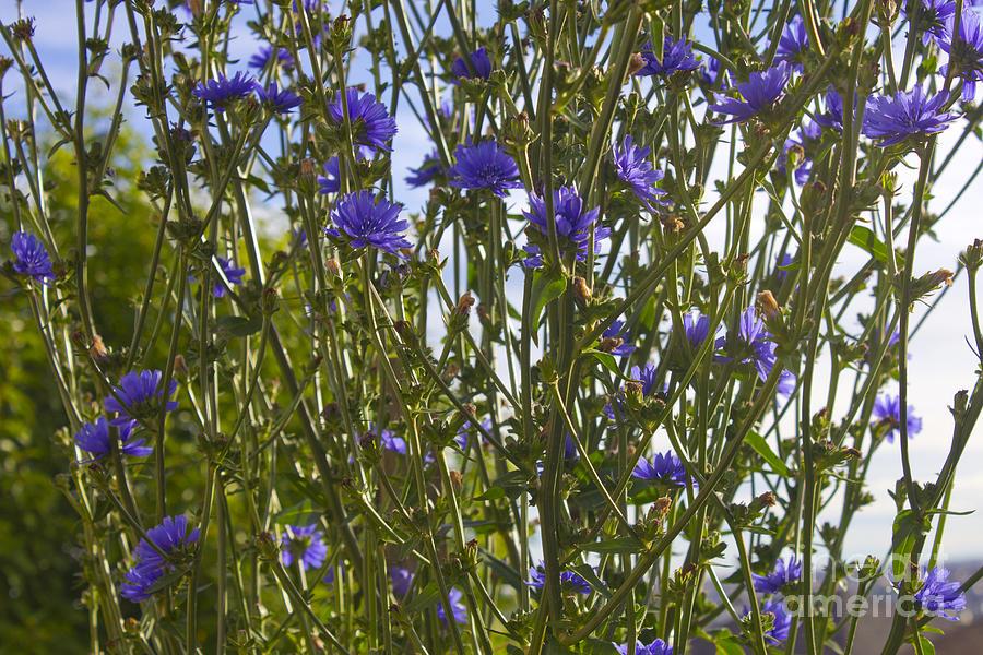 Romaine Lettuce Flowers 2 Photograph