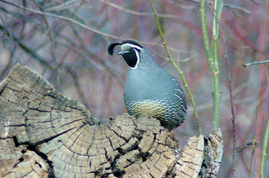 Rooster Quail  Photograph