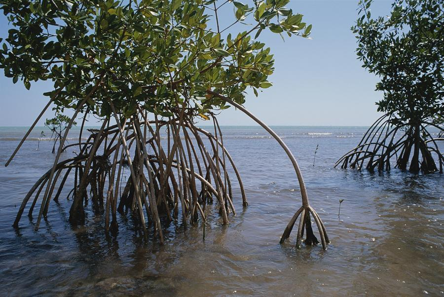 Root Legs Of Red Mangroves Extend Photograph