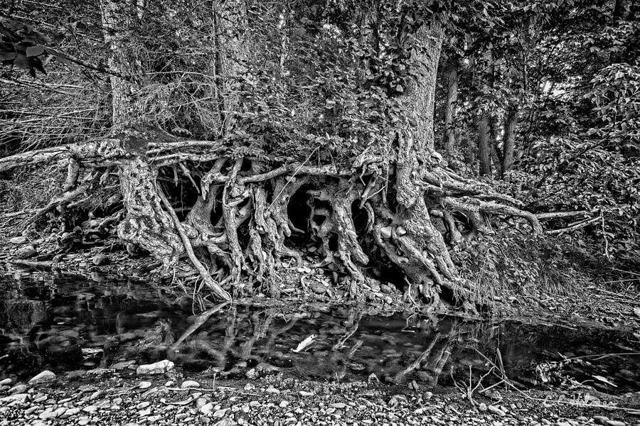 Roots - Bw Photograph