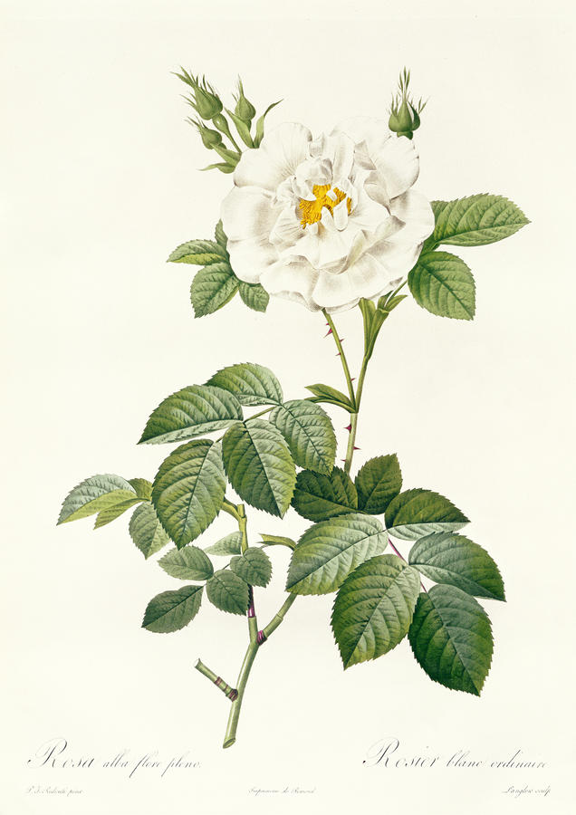 Rosa Alba Flore Pleno Drawing