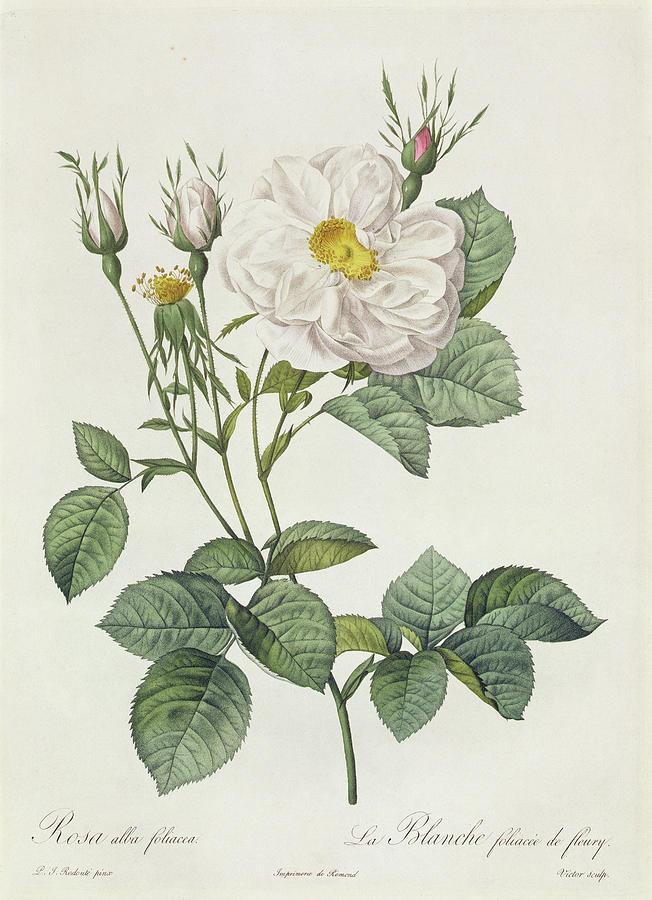 Rosa Alba Foliacea Drawing