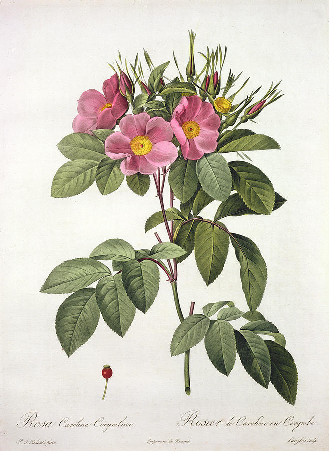 Rosa Carolina Corymbosa Drawing  - Rosa Carolina Corymbosa Fine Art Print