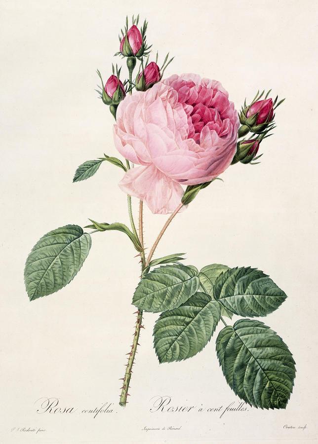 Rosa Centifolia Drawing