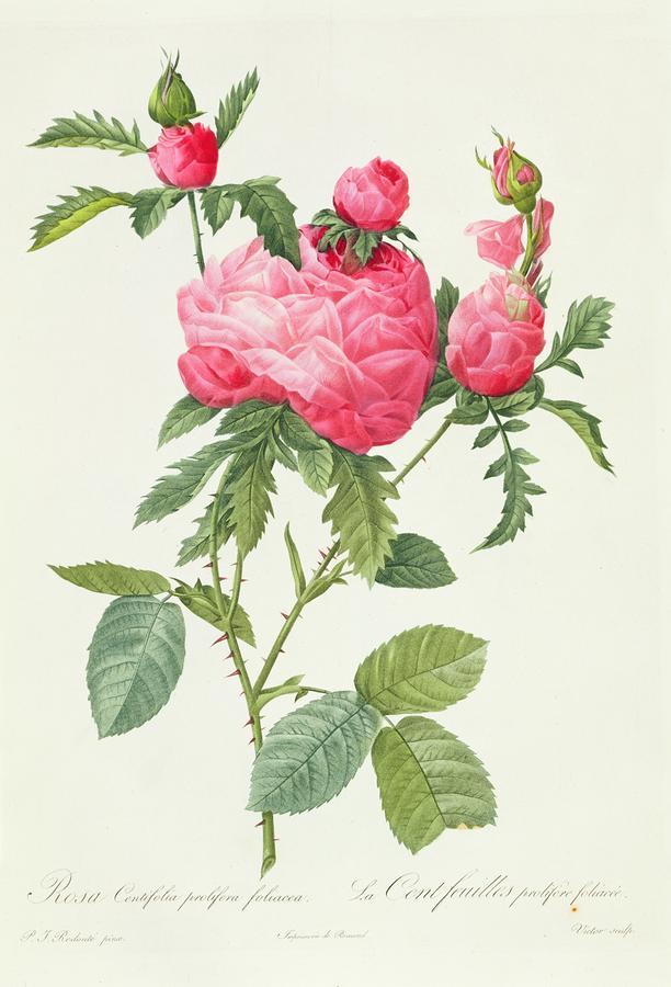 Rosa Centifolia Prolifera Foliacea Drawing