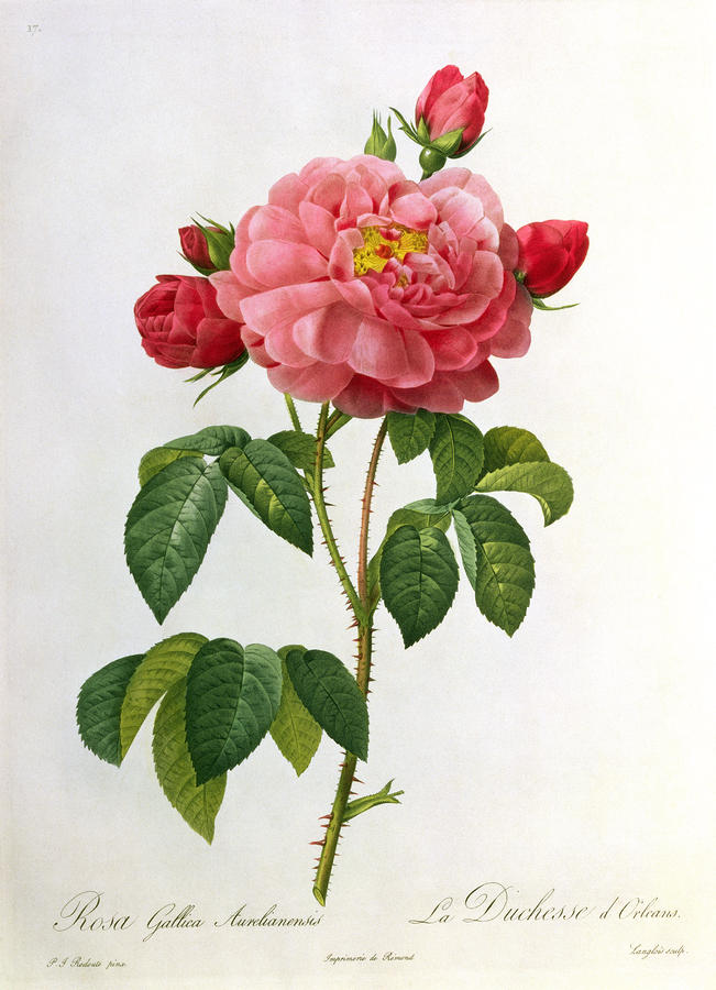 Rosa Gallica Aurelianensis Drawing  - Rosa Gallica Aurelianensis Fine Art Print
