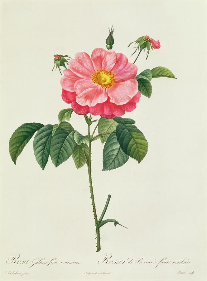 Rosa Gallica Flore Marmoreo Drawing