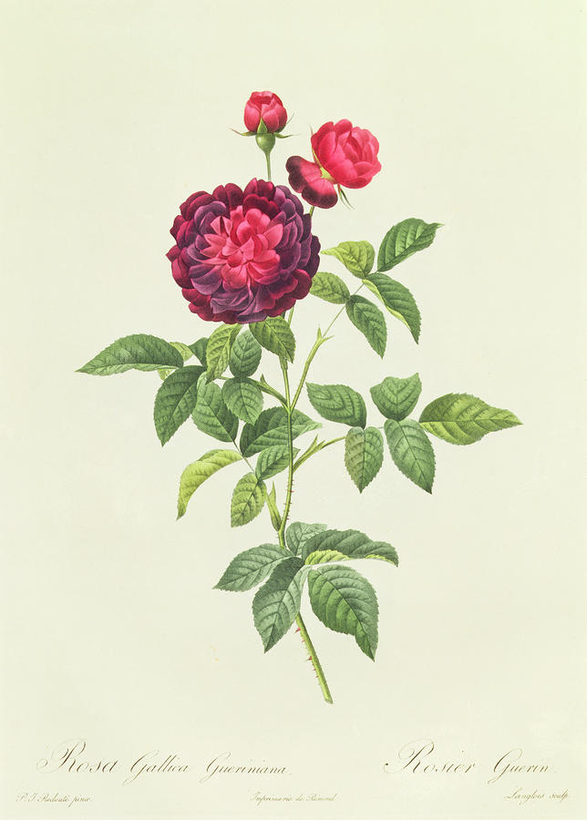 Rosa Gallica Gueriniana Drawing