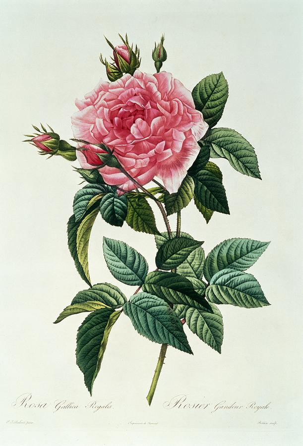 Rosa Gallica Regalis Drawing