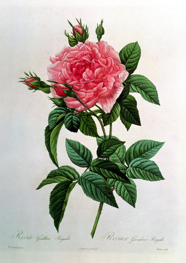 Rosa Gallica Regallis Drawing  - Rosa Gallica Regallis Fine Art Print