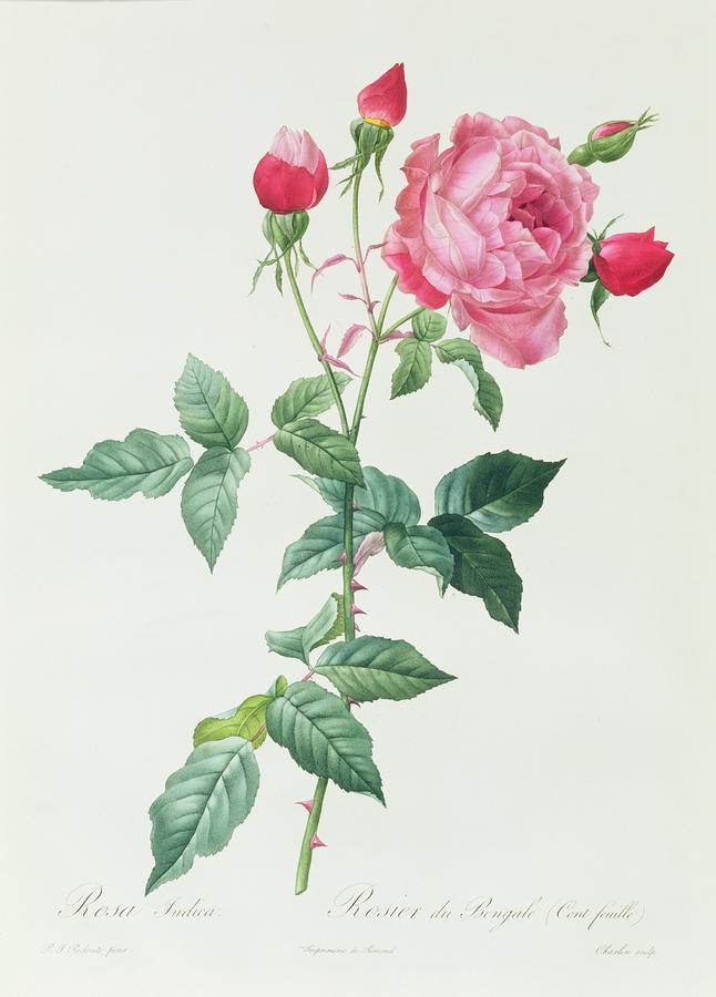 Rosa Indica Drawing