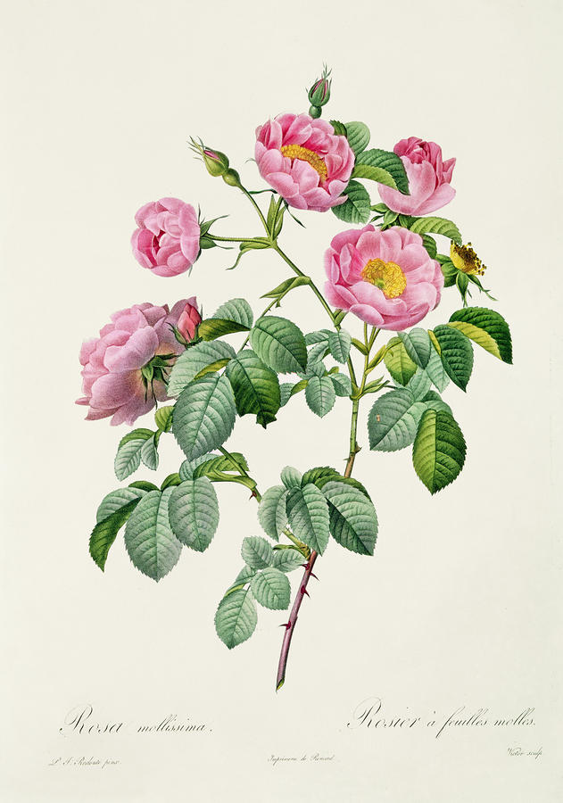 Rosa Mollissima Drawing