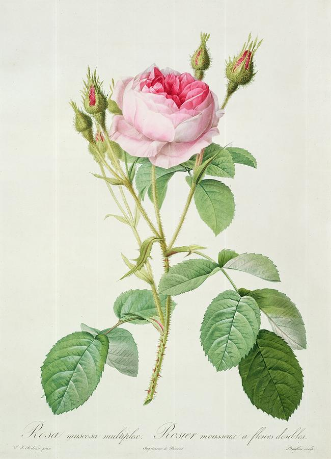 Rosa Muscosa Multiplex Drawing