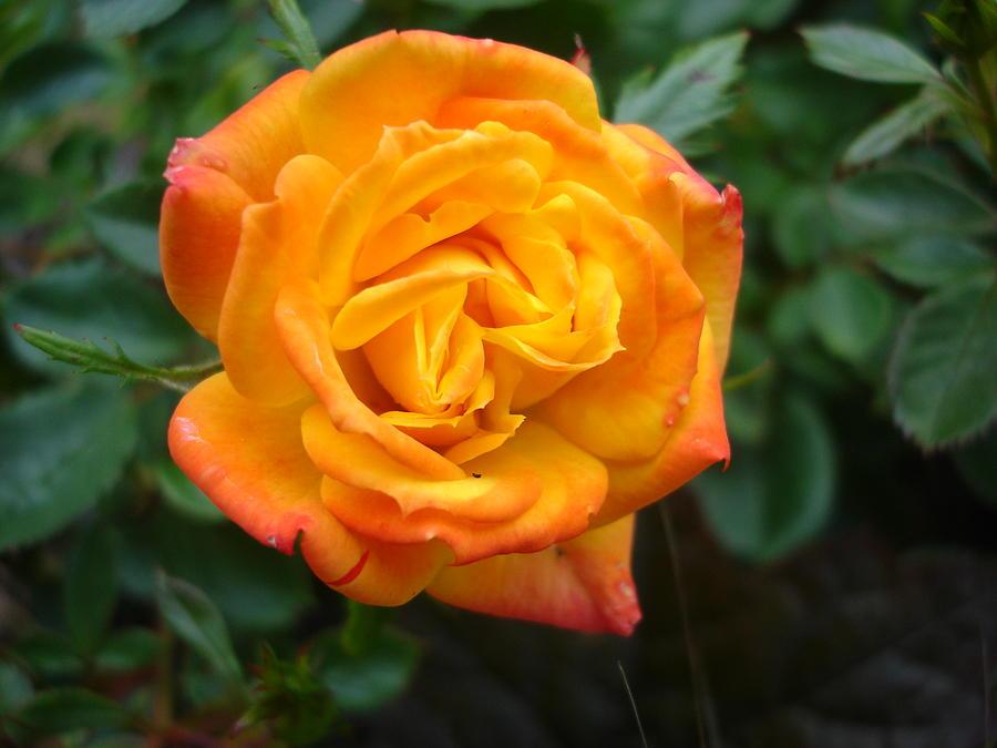 An irish rose