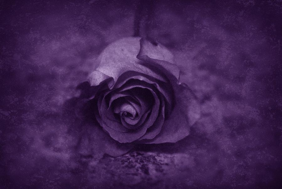 Rose - Purple Photograph