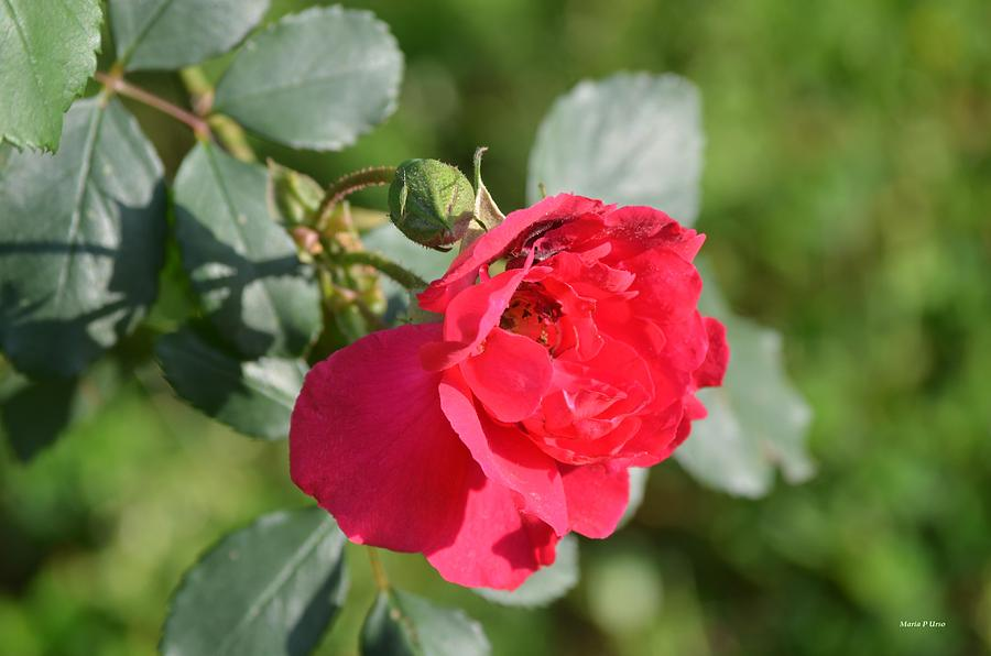 Rose And Bud Photograph
