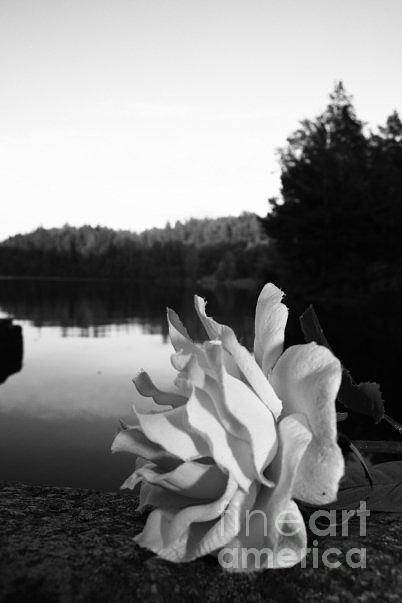 Rose Awakening Photograph