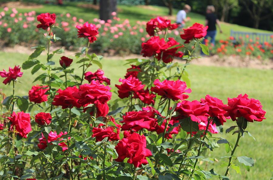 Rose Garden Photograph
