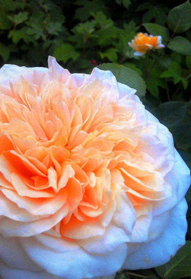 Rose Glow Pyrography