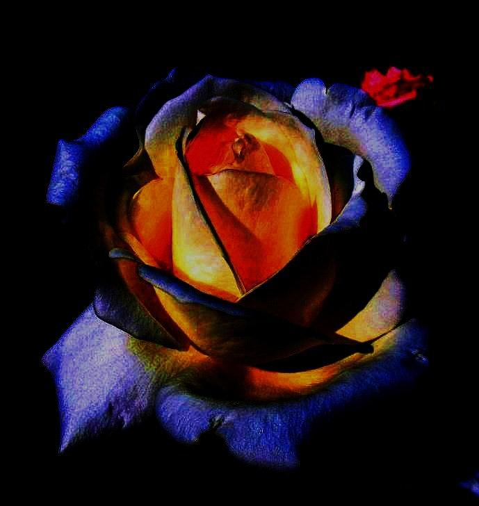 Rose II Photograph  - Rose II Fine Art Print
