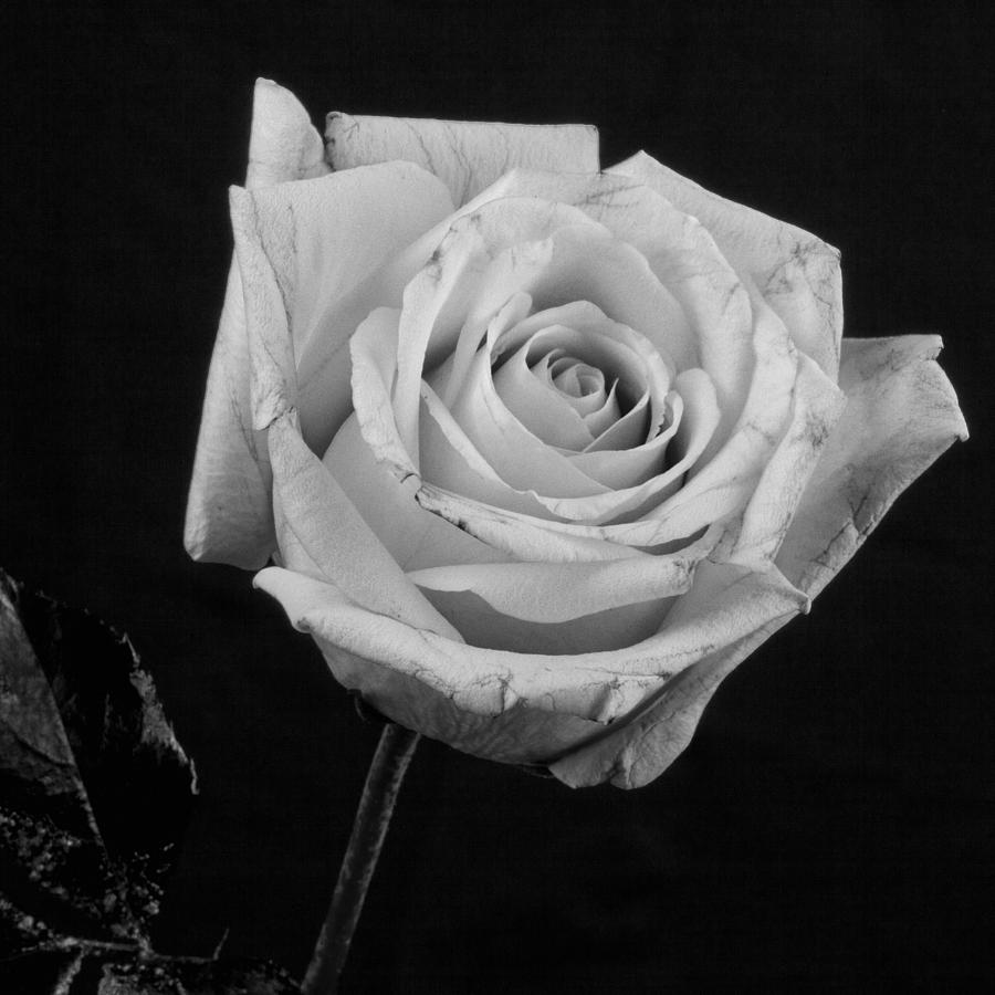 dongetrabi: Black And White Rose With Stem Images