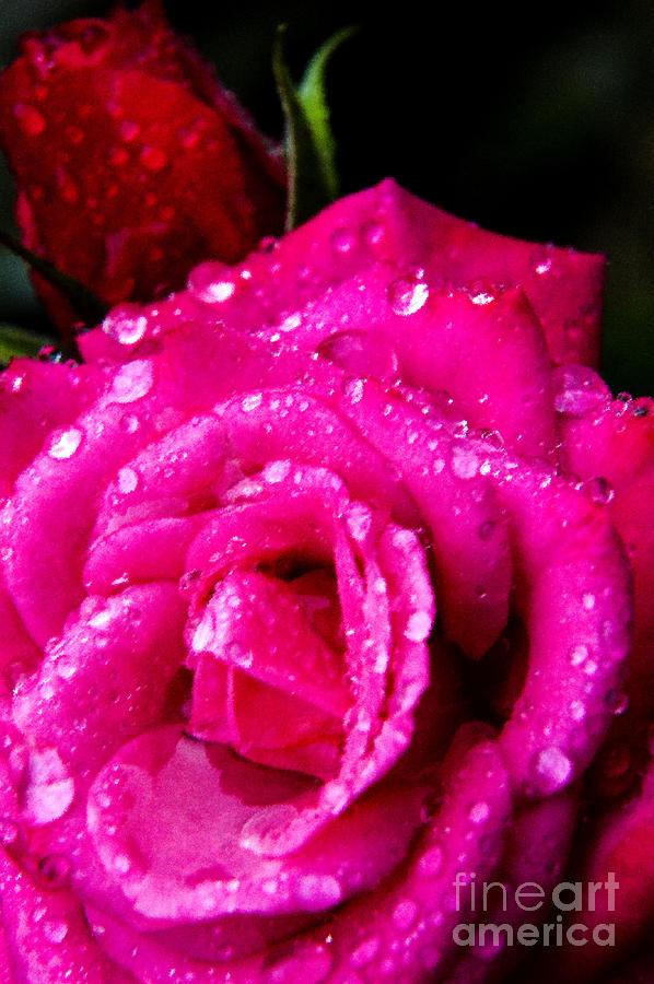 Rose In The Rain Digital Art