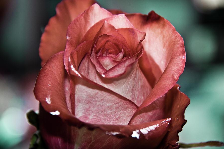 Rose Love Photograph
