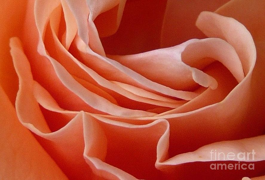 Rose Of Heart Photograph  - Rose Of Heart Fine Art Print