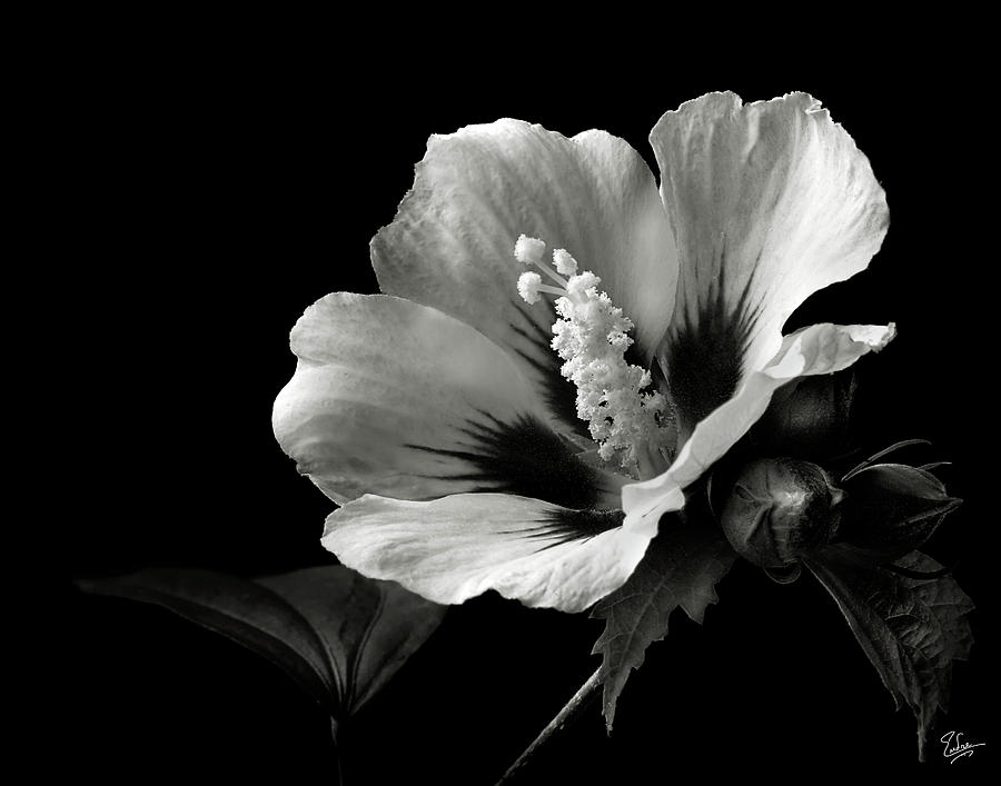 Rose Of Sharon In Black And White Photograph By Endre Balogh