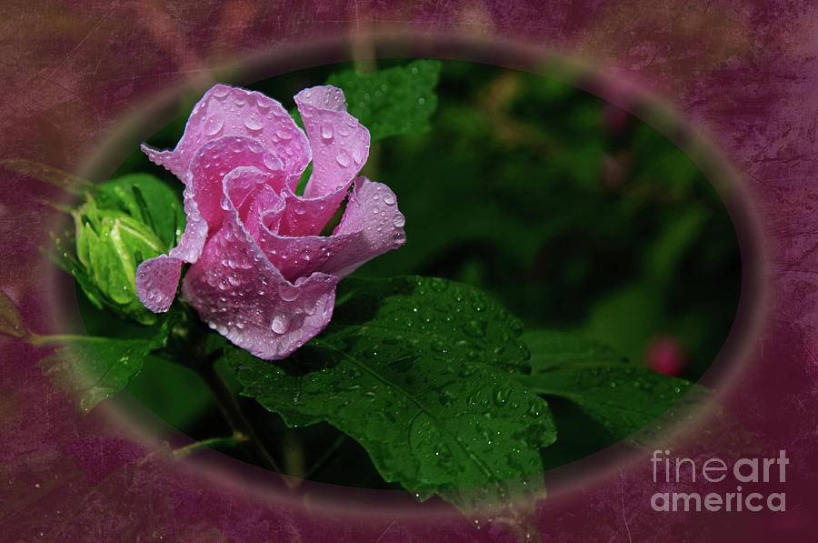 Rose Of Sharon Oval Frame Photograph  - Rose Of Sharon Oval Frame Fine Art Print