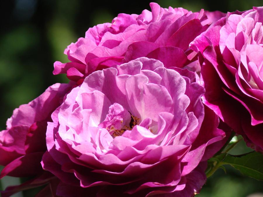 Rose pink purple roses flowers 1 rose garden sunlit flowers baslee