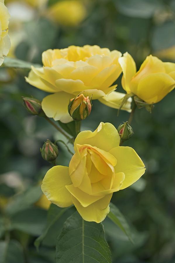 Rose (rosa charlotte Auspoly) Photograph