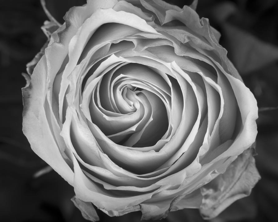 Rose Spiral Black And White Photograph
