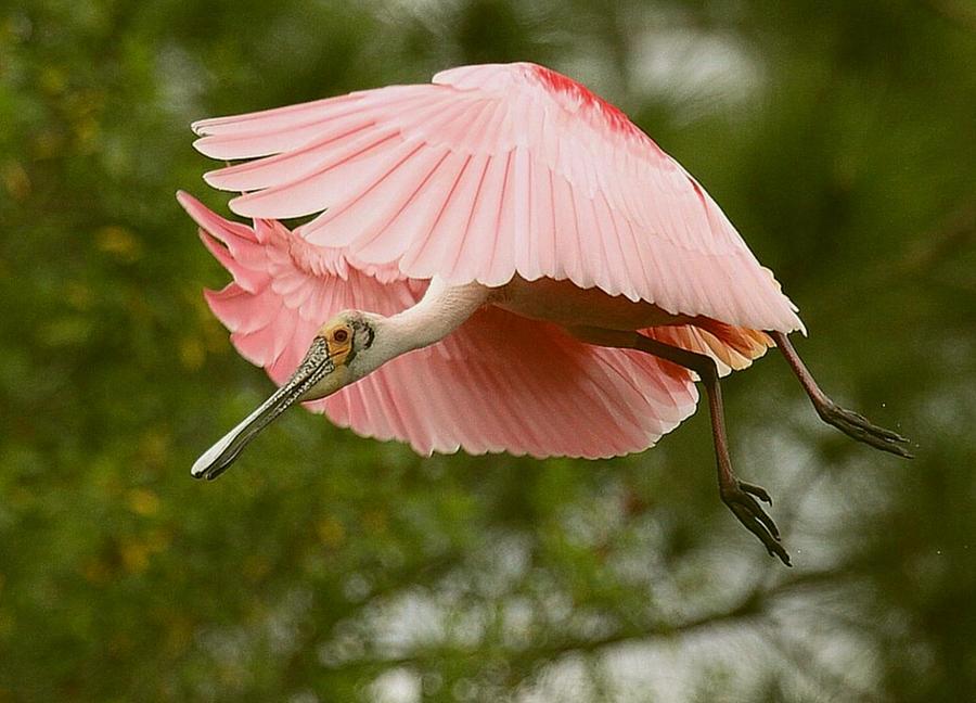 Roseate Spoonbill In Flight by Myrna Bradshaw